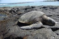 Photo of turtle on lava flow