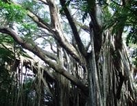 Photo of Banyan tree