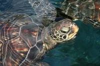 Photo of sea turtle in water