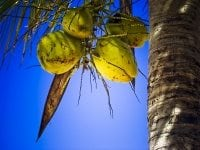 Photo of coconut in tree