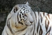 Photo of white tiger