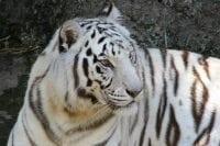 Photo of white tiger