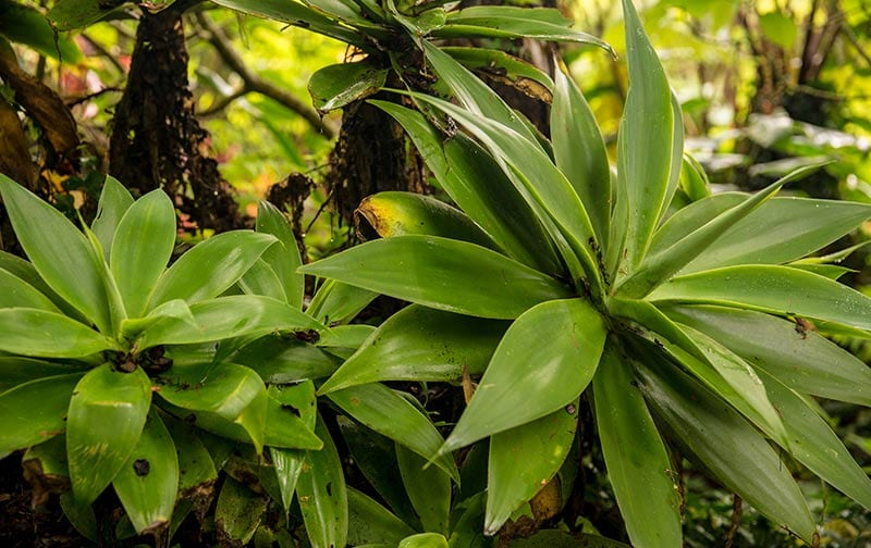 Chalet Kilauea Hotel Plants
